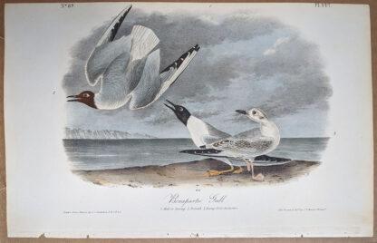 Audubon print, Bonaparte's Gull, 1st Edition Royal Octavo