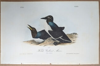 Audubon print of Foolish Guillemot Murre, Octavo 1st Edition