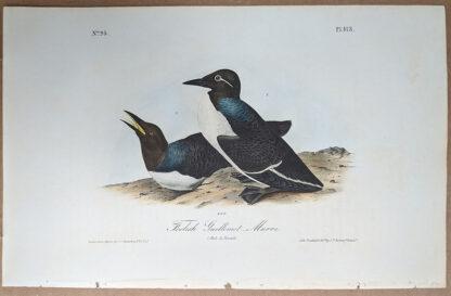 Audubon print of Foolish Guillemot Murre, Octavo 1st Edition