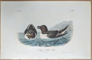 Audubon print Royal Octavo, 1st edition, Razor Billed Auk