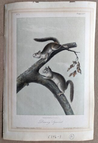 Original Downy Squirrel lithograph by John J Audubon