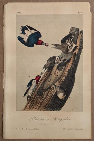 Audubon Octavo 2nd Edition of Red-headed Woodpecker, plate 271