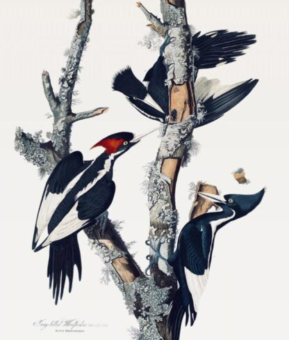Close-up of Audubon's Ivory-billed Woodpecker print