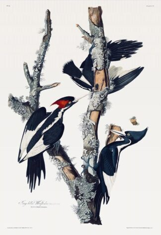 Ivory-billed Woodpecker by Audubon - Fine-art Print
