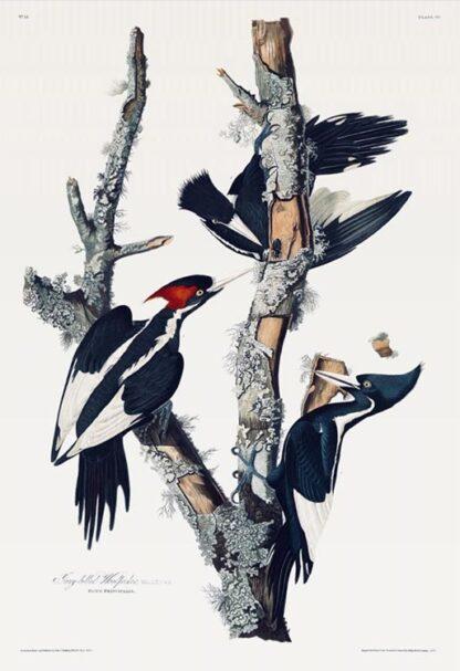 Ivory-billed Woodpecker by Audubon - Fine-art Print