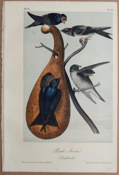 Audubon Print of the Purple Martin, 2nd Royal Octavo Edition