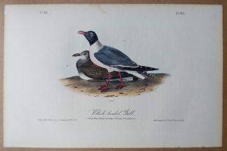 Audubon Octavo print of the Black-headed Gull, 1st edition, plate 443