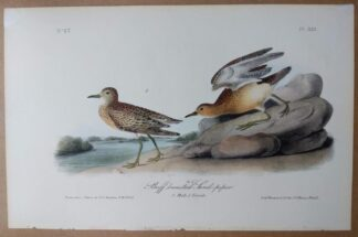 Audubon Octavo 1st Edition, Buff-breasted Sandpiper, plate 331