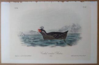 Audubon Octavo 2nd edition print of the Curled-crested Phaleris, plate 467