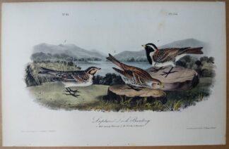 Audubon Octavo print, 1st Edition, Lapland Lark Bunting, plate 152
