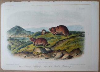 Audubon Octavo of Tawny & Back's Lemming, plate CXX