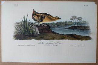 Audubon Octavo print, 1st Edition, Yellow-breasted Rail, plate 307