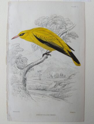 Naturalist's Library antique print of African Golden Oriole, by Sir William Jardine and engraver W.H. Lizars