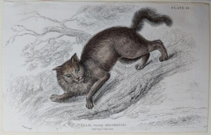 Naturalist's Library antique print of Felis Angorensis (Angora Cat), by Sir William Jardine and engraver W.H. Lizars
