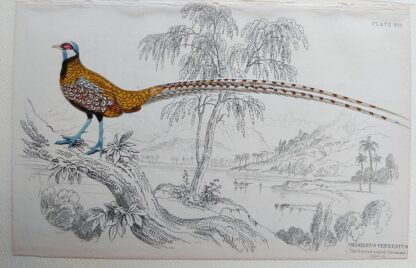 Naturalist's Library antique print of Phasianus Veneratus (Barred-tailed Pheasant), by Sir William Jardine and engraver W.H. Lizars