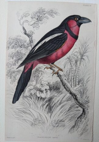 Naturalist's Library antique print of Black-billed Gaper, by Sir William Jardine and engraver W.H. Lizars