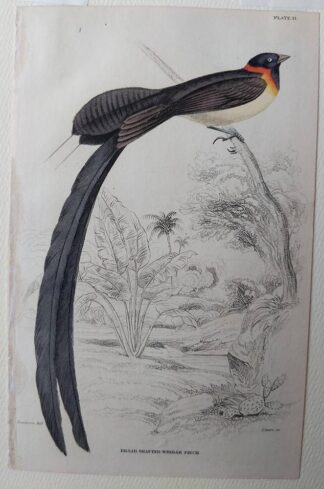 Naturalist's Library antique print of Broad-shafted Whidah Finch, by Sir William Jardine and engraver W.H. Lizars