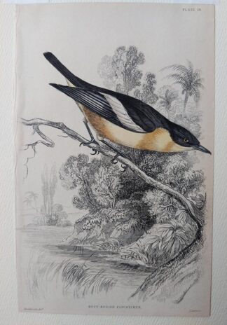 Naturalist's Library antique print of Buff-bodied Flycatcher, by Sir William Jardine and engraver W.H. Lizars