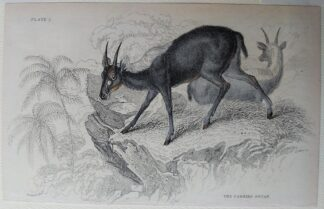 Naturalist's Library antique print of The Cambing Ootan, by Sir William Jardine and engraver W.H. Lizars