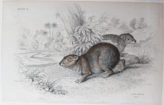 Naturalist's Library antique print of Cape Hyrax, by Sir William Jardine and engraver W.H. Lizars