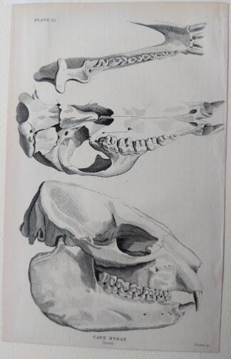 Naturalist's Library antique print of Cape Hyrax skull, by Sir William Jardine and engraver W.H. Lizars