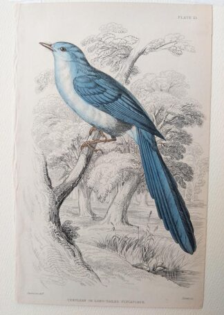 Naturalist's Library antique print of Cerulean or Long-tailed Flycatcher, by Sir William Jardine and engraver W.H. Lizars