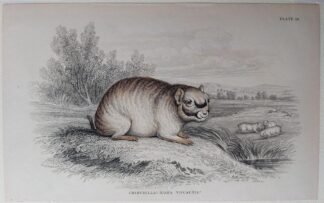 Naturalist's Library antique print of Chinchilla Diana, by Sir William Jardine and engraver W.H. Lizars