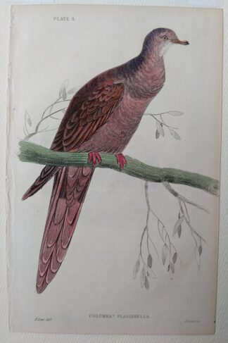 Naturalist's Library antique print of Columba Plasianella (Pheasant-tailed Pigeon), by Sir William Jardine and engraver W.H. Lizars