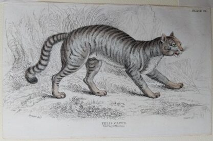 Naturalist's Library antique print of Felis Catus (Common Wild Cat), by Sir William Jardine and engraver W.H. Lizars