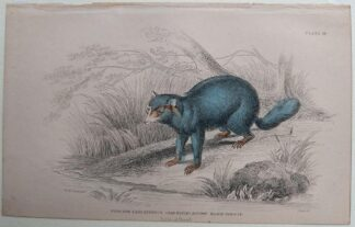Naturalist's Library antique print of Procyon Cancrivorus (Crab-eating Racoon), by Sir William Jardine and engraver W.H. Lizars