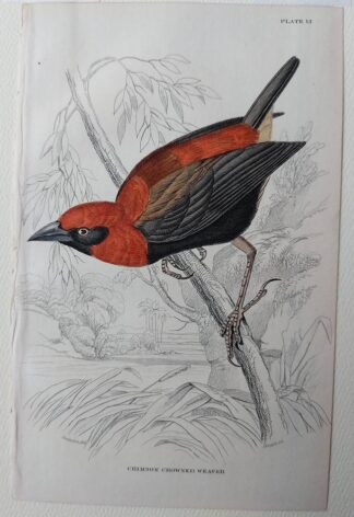 Naturalist's Library antique print of Trochilus Colubris (Northern Hummingbird), by Sir William Jardine and engraver W.H. Lizars