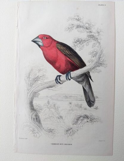 Naturalist's Library antique print of Crimson Nut Cracker, by Sir William Jardine and engraver W.H. Lizars
