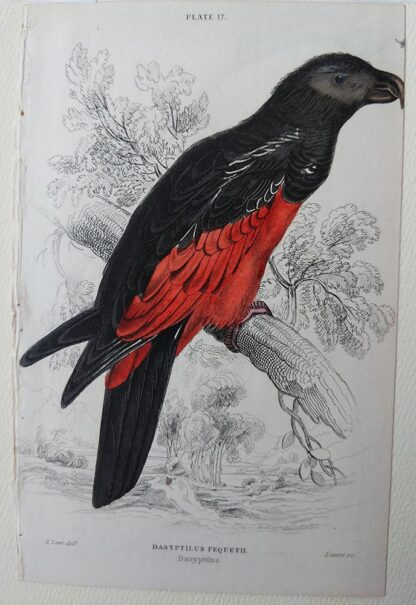 Naturalist's Library antique print of Desyptilus Pequeth, by Sir William Jardine and engraver W.H. Lizars