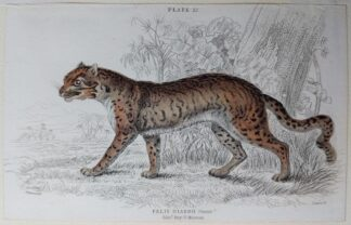 Naturalist's Library antique print of Felis Diardii (Diard's Cat), by Sir William Jardine and engraver W.H. Lizars