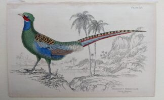 Naturalist's Library antique print of Phasianus Versicolor (Diard's Pheasant), by Sir William Jardine and engraver W.H. Lizars