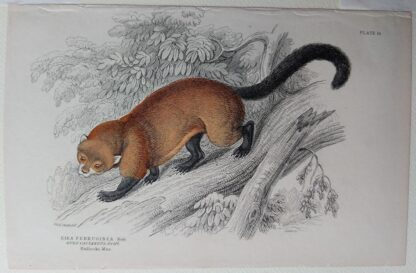 Naturalist's Library antique print of Eira Ferruginea, by Sir William Jardine and engraver W.H. Lizars