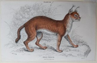 Naturalist's Library antique print of Felis Caracal (The Caracal), by Sir William Jardine and engraver W.H. Lizars
