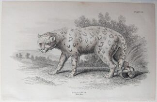 Naturalist's Library antique print of Felis Uncia, by Sir William Jardine and engraver W.H. Lizars