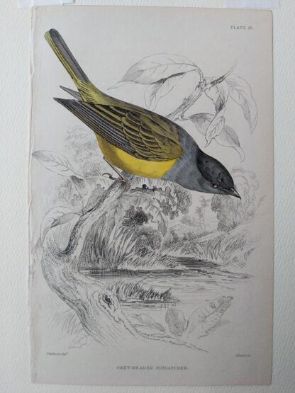 Naturalist's Library antique print of Grey-headed Flycatcher, by Sir William Jardine and engraver W.H. Lizars