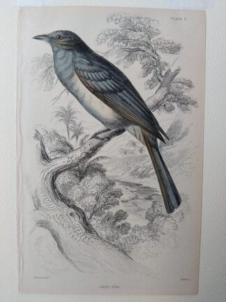 Naturalist's Library antique print of Grey Piha, by Sir William Jardine and engraver W.H. Lizars