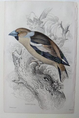 Naturalist's Library antique print of Hawfinch, by Sir William Jardine and engraver W.H. Lizars
