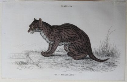 Naturalist's Library antique print of Felis Himalyanus (Himalayan Serval Cat), by Sir William Jardine and engraver W.H. Lizars