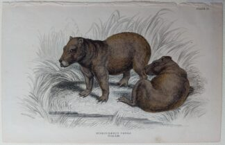 Naturalist's Library antique print of Hydrochaerus Cabiai (Capybara), by Sir William Jardine and engraver W.H. Lizars