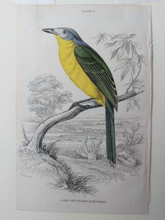 Naturalist's Library antique print of Large Grey Headed Bush Shrike, by Sir William Jardine and engraver W.H. Lizars