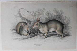 Naturalist's Library antique print of Lepus Tapeti, by Sir William Jardine and engraver W.H. Lizars