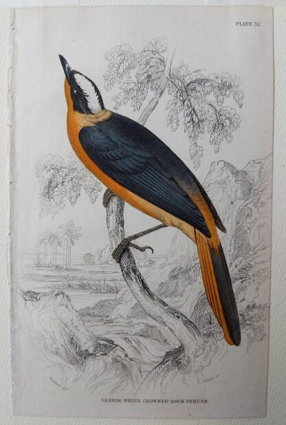 Naturalist's Library antique print of Lesser White Crowned Rock Thrush, by Sir William Jardine and engraver W.H. Lizars