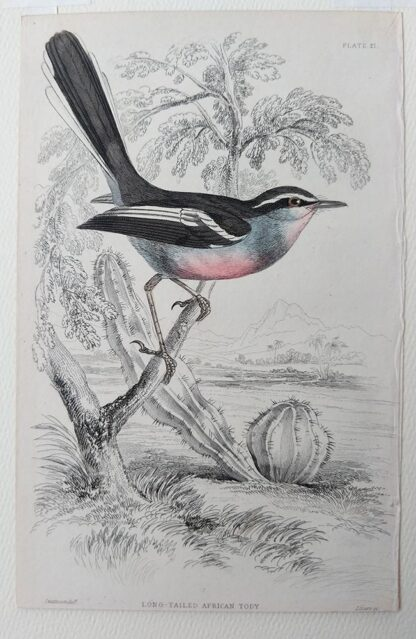 Naturalist's Library antique print of Long-tailed African Tody, by Sir William Jardine and engraver W.H. Lizars