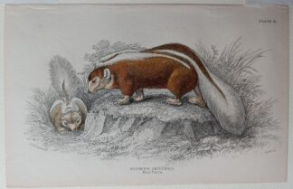 Naturalist's Library antique print of Mephitis Chilensis (Striped Skunk), by Sir William Jardine and engraver W.H. Lizars
