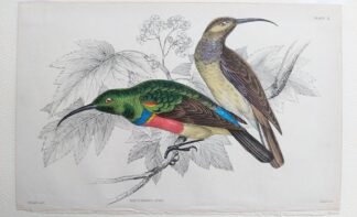 Naturalist's Library antique print of Nectarinia Afra, by Sir William Jardine and engraver W.H. Lizars