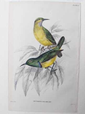 Naturalist's Library antique print of Nectarinia Collaris (Little Blue-banded Sun Bird), by Sir William Jardine and engraver W.H. Lizars